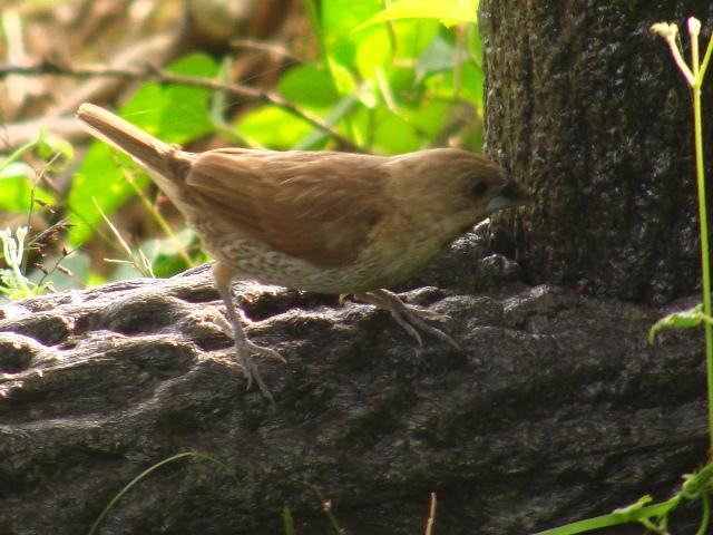 シマキンパラ(カエデチョウ科)。森林公園の中。ものすごく小さな下草のイネ科植物に、数羽集まっている。かなり近づいても、全然、逃げない。