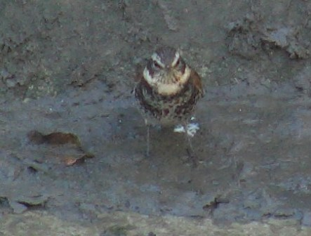まわりのコチドリや、イソシギ、シロガシラやスズメより一回り大きいから目立つのだが、泥の上では、完璧な「保護色」、どこにいるかよくわからない。ツグミ(ツグミ科)、「冬鳥」。