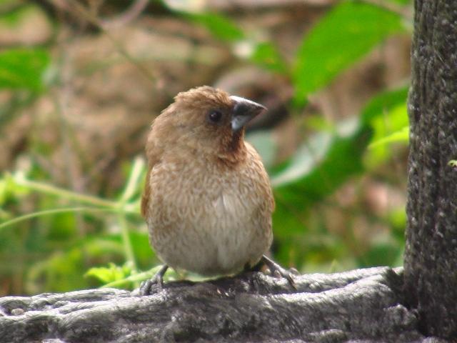 シマキンパラ(カエデチョウ科)。森林公園の中。横顔、ひとり。