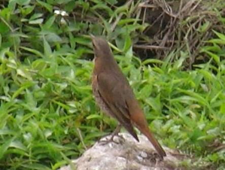 こ・の・鳥と、あの鳥とが、同じ「種」であるか?、どうか?、が、「問題」の中心、なのである。いや、どう見ても、「同じ」だろう?、池の周りのアカハラ(ツグミ科)。