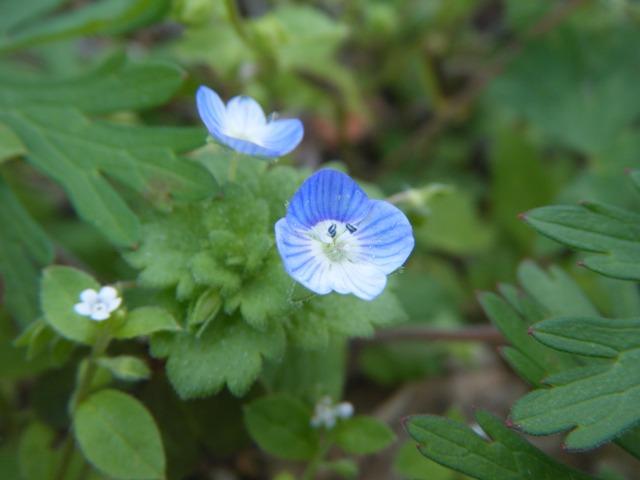 タチイヌノフグリ(ゴマノハグサ科)、開花。去年と、正確に、同じ場所だ。この花を、「ここ」でしか見たことがない。刈り取られてしまったら、どうしよう?、左側は、ハナイバナ(ムラサキ科)。