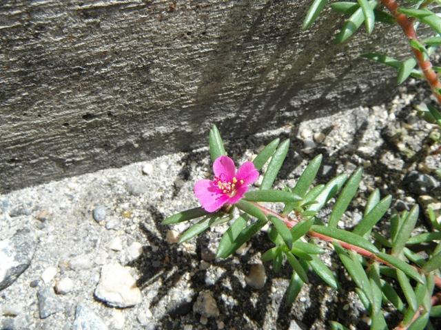 近縁種の、「園芸植物」の、大輪のマツバボタン、よりも、ずっと(!)、美しい♪、と「思う」のは、「自然」を称揚したがる「ロマン主義」偏向(笑)、または、「小さきもの」を愛でる「判官贔屓」?、ヒメマツバボタン(スベリヒユ科)。