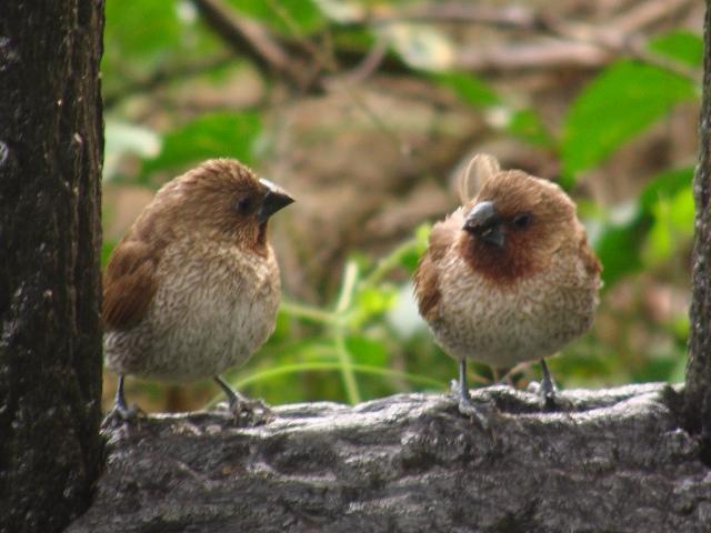 シマキンパラ(カエデチョウ科)。森林公園の中。横顔、二人。