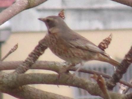 この鳥と、あ・の・鳥とが、同じ「種」であるか?、どうか?、いや、どう見ても、「同じ」だろう?、池の「隣」の芝生の、昨日はツグミ(ツグミ科)のメスだ、と言ったのと「似た」鳥。やはり、アカハラ(ツグミ科)なのか?