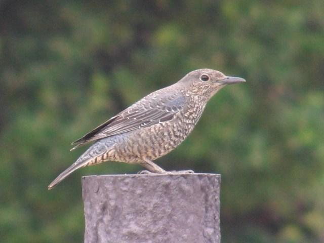 「木彫り」の「置物」のような・・・。色彩のせいか、これも、カメラのオートフォーカスが「合いにくい」鳥なのだが、こんなにくっきり。「留鳥」・イソヒヨドリ(ツグミ科)、メス。前方を、見る。