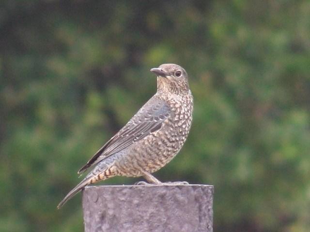 「木彫り」の「置物」のような・・・。色彩のせいか、これも、カメラのオートフォーカスが「合いにくい」鳥なのだが、こんなにくっきり。「留鳥」・イソヒヨドリ(ツグミ科)、メス。振り返る。