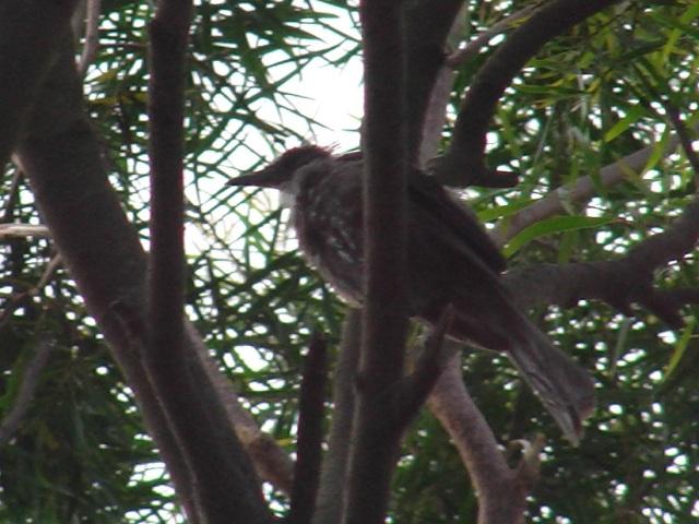 個の襟巻のような、ふわふわは、「産毛」か?、だとしたら、これも「子供」か?、ヒヨドリ(ヒヨドリ科)。少し離れた公園の、ガジュマルの木。