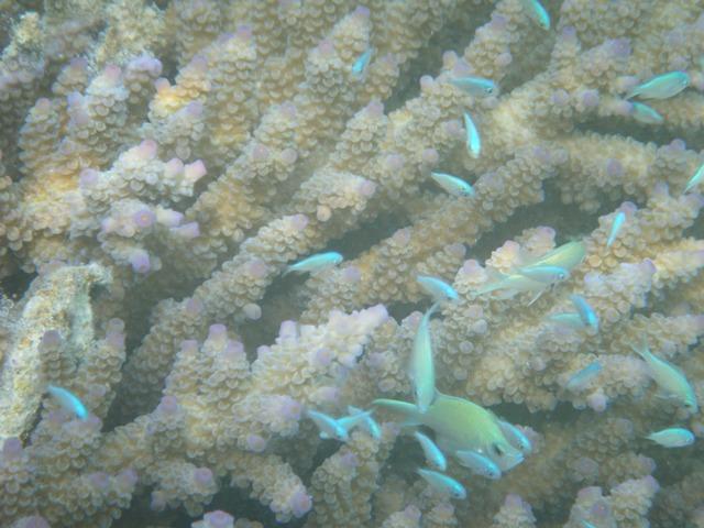 枝状サンゴに群れる、デバスズメダイ(スズメダイ科)。近づくと、一斉に隠れてしまう。きょうは、大潮の干潮の時刻に来合わせたから、かなり近づけた。