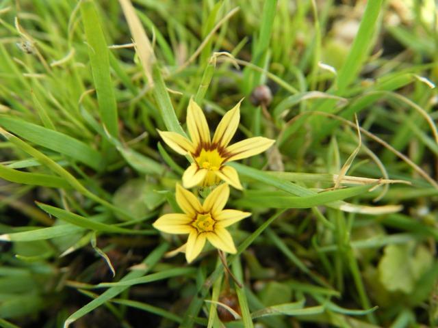 図鑑には見当たらないが、そっくりなのだ。ニワゼキショウ(アヤメ科)は、白または薄紫色。黄花品種もあるのか?、やはり芝生の間に生える。実も、そっくり!
