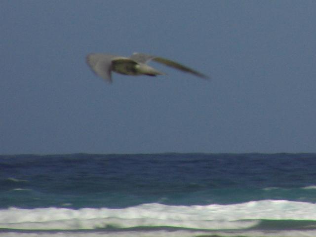 コアジサシ「飛翔」シリーズ3:海の上。顔が見えない。