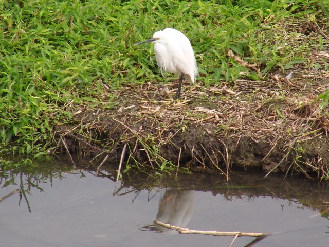 遊水地「渡り鳥」サギ類3種、が、揃った!、コサギ(サギ科)。嘴黒。足指黄色。水に映った「鏡像」。
