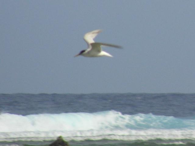 コアジサシ「飛翔」シリーズ4:海の上。翼の裏側や胴体は、あくまで、白い。