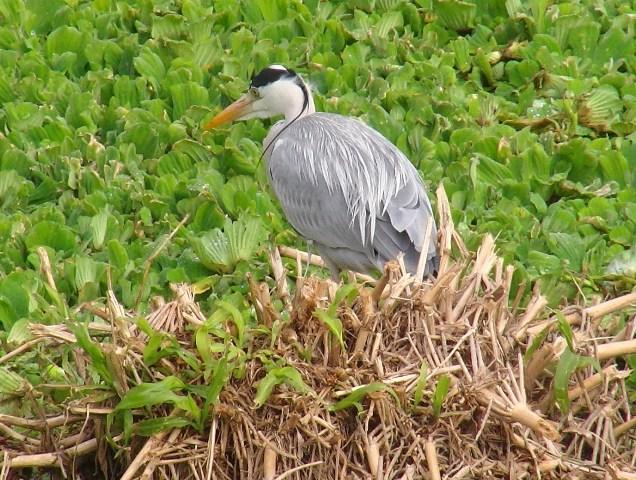 遊水地「渡り鳥」サギ類3種、が、揃った!、アオサギ(サギ科)。「辮髪」のような飾り羽。