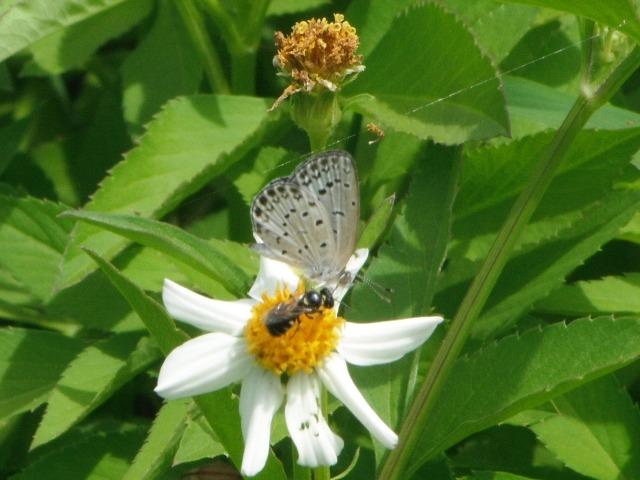 シロノセンダングサ(キク科)上、ヤマトシジミ(シジミチョウ科)、手前は、アシナガバチ類か?、海沿いのサトウキビ畑の縁。