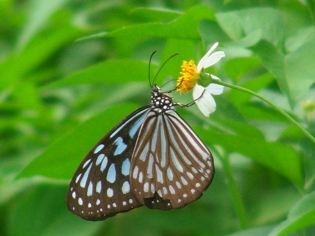 リュウキュウアサギマダラ(マダラチョウ科)。王朝時代の「城」跡、咲いている花はシロノセンダングサ(キク科)ばかりだが、ここには多数の蝶が集まる。