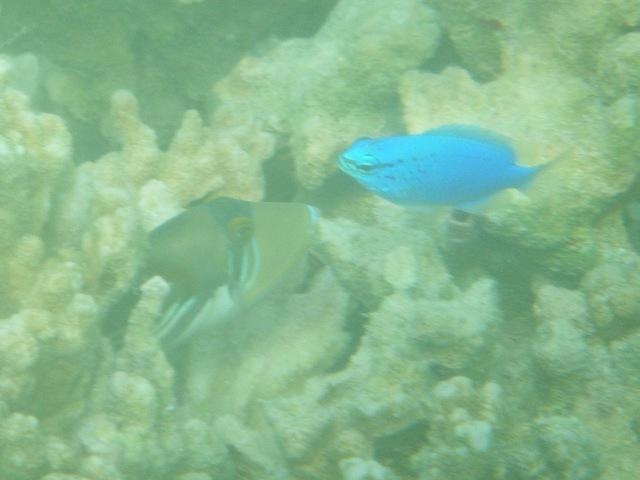 左側の、一層色鮮やかなのは、ムラサメモンガラ(モンガラカワハギ科)の、「稚魚」ではないか?、右、ルリスズメダイ(スズメダイ科)。