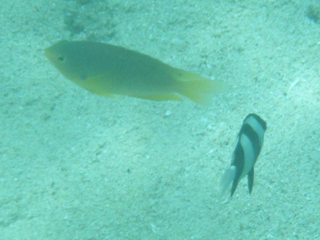 尾びれに一眼状紋、だから、これはきっと、クロメガネスズメダイ(スズメダイ科)だ!、そのオレンジ色はネッタイスズメダイより「鈍い」感じだ。右下はミスジリュウキュウスズメダイ(スズメダイ科)。