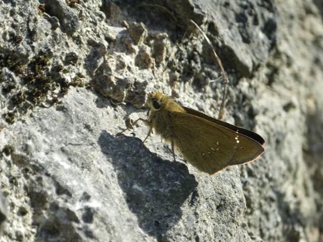イチモンジセセリ(セセリチョウ科)か?、後翅裏白点が離れて4か所ならチャバネセセリ、一列ならイチモンジセセリ!、だって。