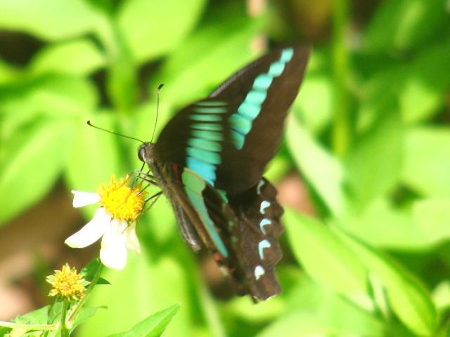 「手ぶれ」はしていないぞ!、この蝶は、花の上で吸蜜中も、せわしなく羽を動かす。アオスジアゲハ(アゲハチョウ科)。、王朝時代の「城」跡、にて。