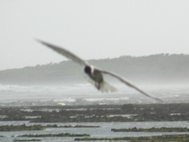 コアジサシ「飛翔」シリーズ6:首を横に曲げて、「旋回」中。