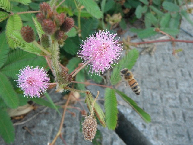 こんな、「とげとげ」の花は、どこにとまったらいいのか「足場」がないからなのか?、ミツバチも「落ち着き」がなくて・・・。オジギソウ(マメ科)、と、セイヨウミツバチ。
