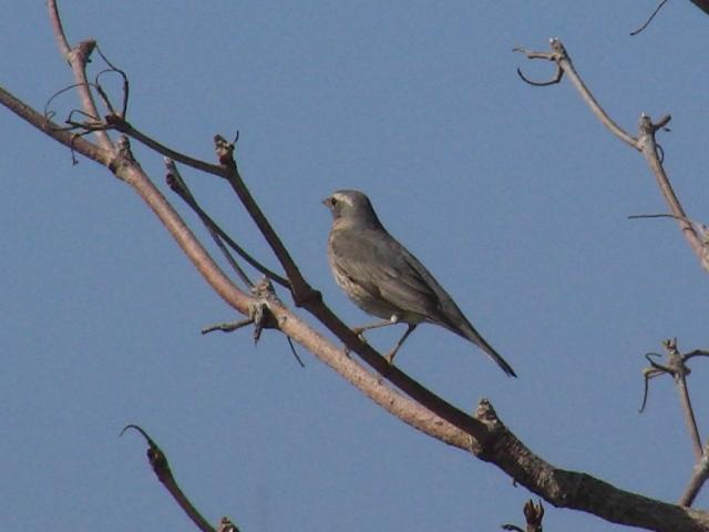 これが、「悩みの種」、ツグミ(ツグミ科)メス、なのか?、アカハラ(ツグミ科)メス、あるいはオス、なのか?、それとも、どちらでもない別の「鳥」なのか?