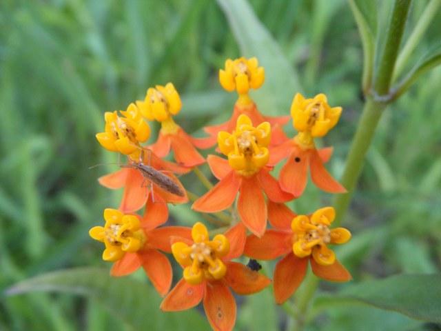 なんとも「つくりもの」のような花。トウワタ(ガガイモ科)。カバマダラの食草、だから、「毒草」。