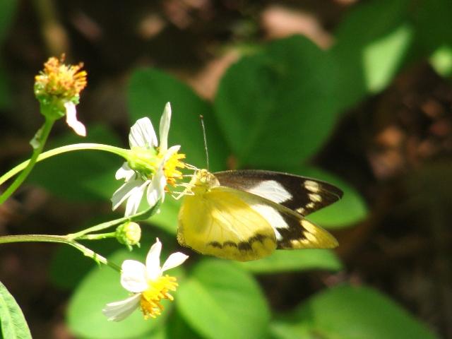 その、モンシロチョウ(シロチョウ科)の「変異体」、と思しき蝶。、王朝時代の「城」跡、にて。