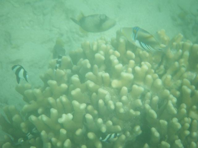 枝状サンゴに群れ集う、ミスジリュウキュウススメダイ(スズメダイ科)、右上、ムラサメモンガラ(モンガラカワハギ科)、これは「親」、中央上、ゴマモンガラ(モンガラカワハギ科)か?
