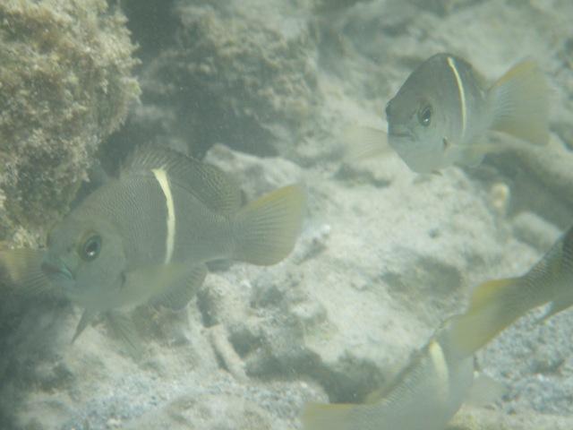 干潮時の「潮だまり」は、各種稚魚たちの「サンクチュアリ」なのだろう。とてもよく見かけるし、こんなに解りやすいデザインなのに、・・・、名前がわからない。