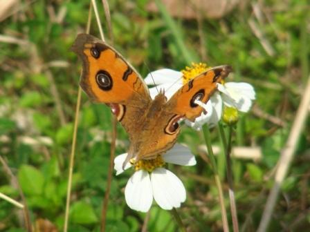 成蝶のまま越冬したのかな?、ずいぶん後翅が傷んでいるね。タテハモドキ(タテハチョウ科)、どうしてタテハチョウ科なのに、「擬き(もどき)」なのだ?、捕食者の「鳥」を威嚇する「眼状紋」。