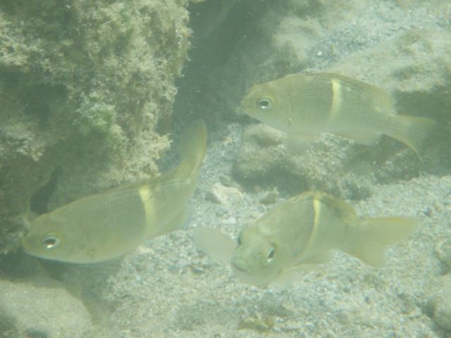「なにか」の稚魚だろうから、成魚は全然違う模様なのかもしれない。それにしても、・・・、これらを、「魚の写真」(笑)、などと呼ばなければならないのが、もどかしい!