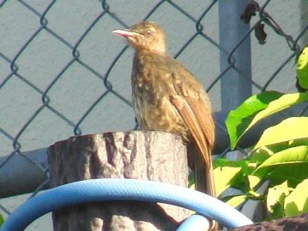 「嘴の黄色い奴め!」、羽づくろいのつもり?、なんだか「産毛」っぽいね・・・、やっぱり、巣立ったばかりの雛だ♪、ヒヨドリ(ヒヨドリ科)。
