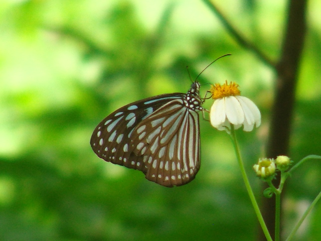 リュウキュウアサギマダラ(マダラチョウ科)。、王朝時代の「城」跡、にて。長時間同じ花の上に静止しているから、写真は撮りやすい。