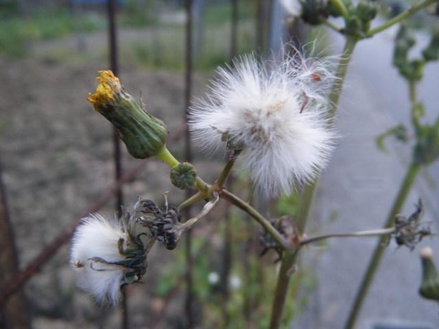 綿毛とつぼみ。ハルノノゲシ(キク科・ハチジョウナ属)。