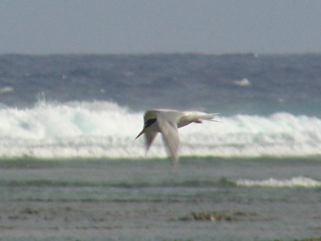 コアジサシ「飛翔」シリーズ9:波頭。顔の輪郭が、くっきり、撮れた♪