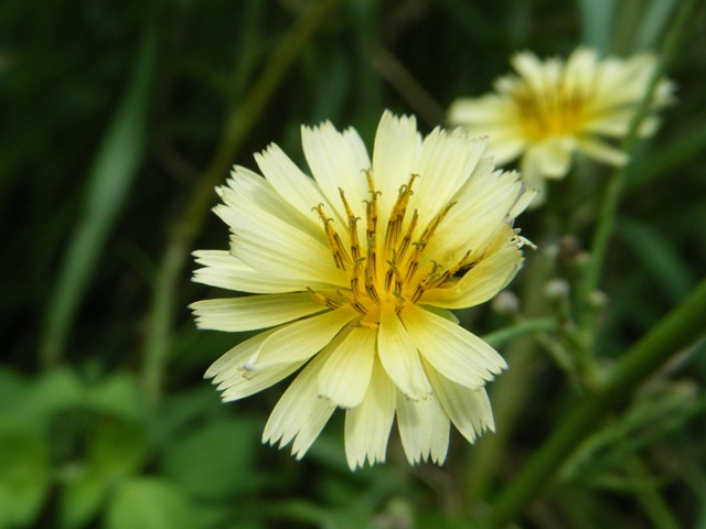 花は「朝」、咲くものなのだ♪、久しぶりに「朝」起きることができた。アキノノゲシ(キク科)。