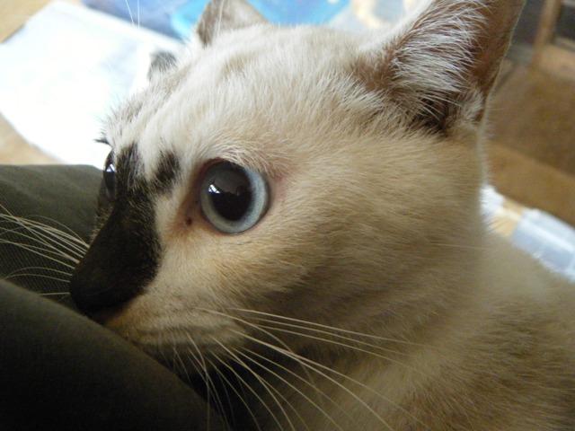 もう一匹の「圧迫排尿」猫♪、クーちゃん、車にひかれたのち、犬に咥えて運ばれた、という「トラウマ経験」(!)をもつ。だ・か・ら・、というわけではないが、「小心者」、ほら、こんなにおめめ、まん丸!