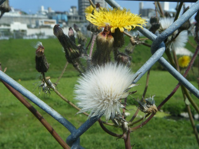 そろそろ、「春」も終わりだろう?、タイワンハチジョウナ(キク科)。