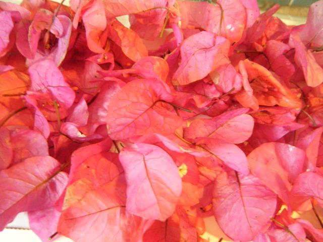 ブーゲンビリア・落花・Vol.1、オーちゃん♪、「お供え」用。強い風が吹いたからか、たくさん見つかった!