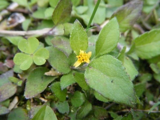 芝生の中に埋もれて、これも、「立って見ているだけ」では、決して見つからない花。フシザキソウ(キク科)?