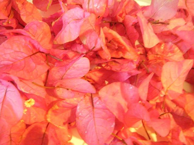 ブーゲンビリア・落花・Vol.2、オーちゃん♪、「お供え」用。強い風が吹いたからか、たくさん見つかった!