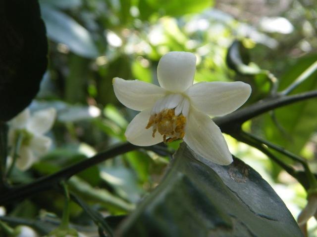 トベラ(トベラ科)。とてもよい香りがする。これも「城跡」の森にて。