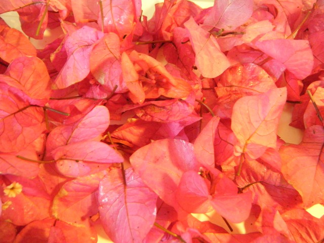 ブーゲンビリア・落花・Vol.3、オーちゃん♪、「お供え」用。強い風が吹いたからか、たくさん見つかった!