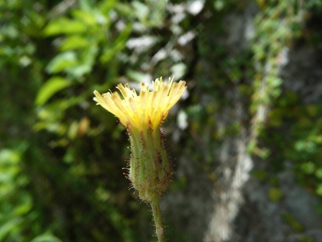 花は「朝」、咲くものなのだ♪、久しぶりに「朝」起きることができた。ハルノノゲシと同属、タイワンハチジョウナ(キク科)。