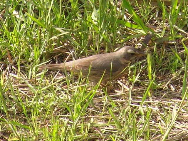 これが、マミチャジナイ(ツグミ科)、ということにし・た・鳥だ!、かなり接近。アカハラほど、「腹」は赤くない。