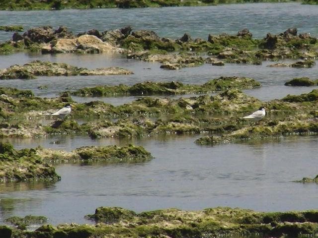 干瀬の、コアジサシ・コロニー。ほら、額に少し白いところがあるのが、ベニアジサシ(同じくカモメ科)、との違い、だと思う。