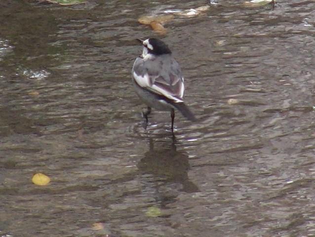 ハクセキレイ(セキレイ科)。とくに「餌」がたくさんある日、とか、天候、とかがあるのだろうか?、この川筋、イソシギ、コチドリの水鳥に混じって、・・・、