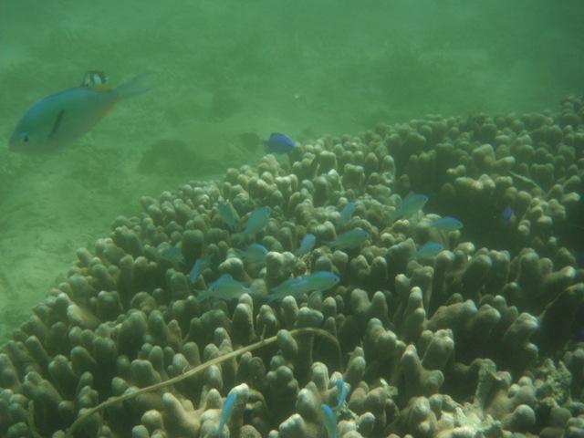 枝状サンゴに群れる、デバスズメダイ(スズメダイ科)の稚魚。その他、ミスジリュウキュウスズメダイ、また、むなびれに黒線のある、名称不明スズメダイ類、も・・・。