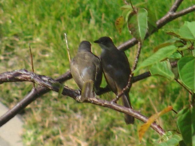 頭が「白」くない(!)、シロガシラ(ヒヨドリ科)。二人とも、「幼鳥」だろう。一緒に「練習」中。